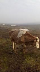 Срочно продам стадо быков